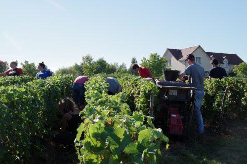 Transport du raisin par des brouettes à chenilles